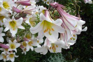Лилии — посадка и уход в открытом грунте
