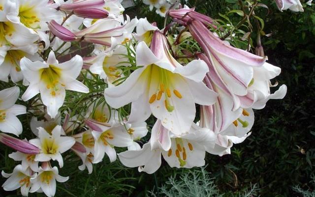 Лилии виды и сорта посадка и уход способы размножения цветов