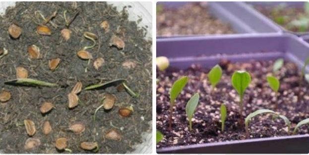 Лилия из семян