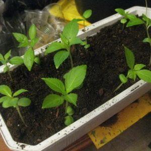 Размножение бальзамина семенами