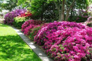 Азалия садовая: посадка и уход в открытом грунте