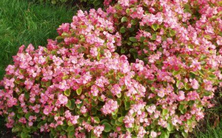 Бегония вечноцветущая: посадка и уход в открытом грунте