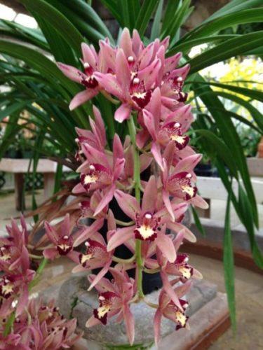 цветение орхидеи Цимбидиум