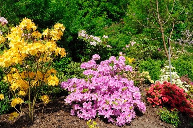 Краткие сведения об азалии садовой