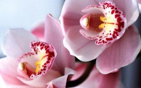 Орхидея Цимбидиум: уход в домашних условиях