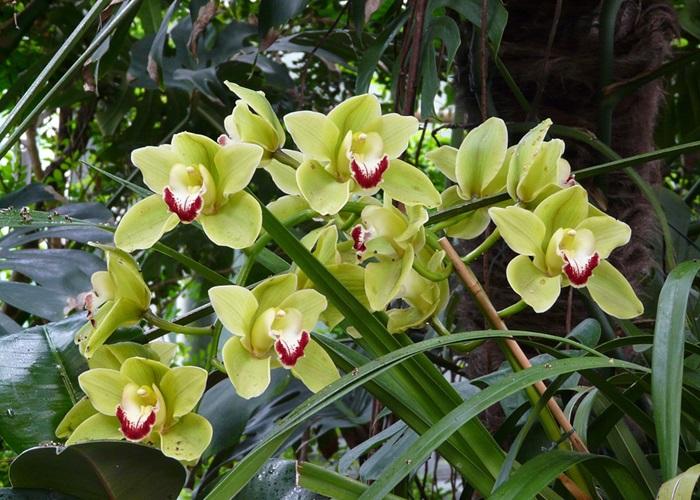 Условия содержания орхидеи Цимбидиум