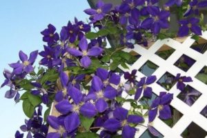 Клематисы: посадка и уход в открытом грунте, для новичков