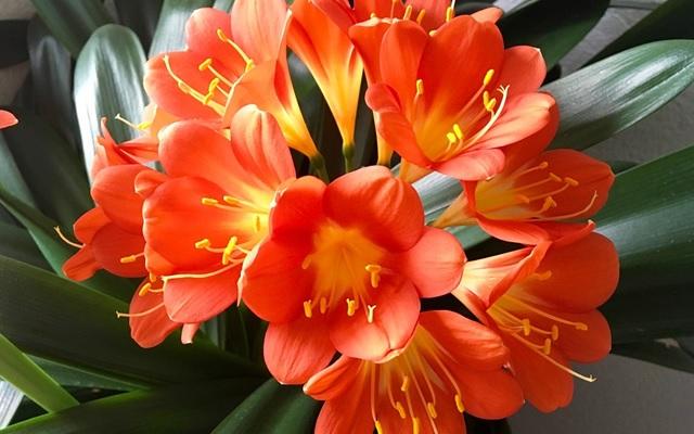 Уход за кливией в домашних условиях, размножение, фото, что делать если не цветет или желтеют листья