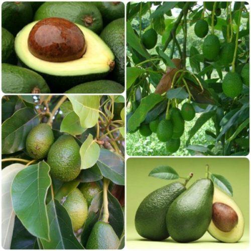 Краткие сведения об авокадо