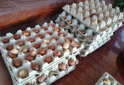 Подготовка тюльпанов к зиме