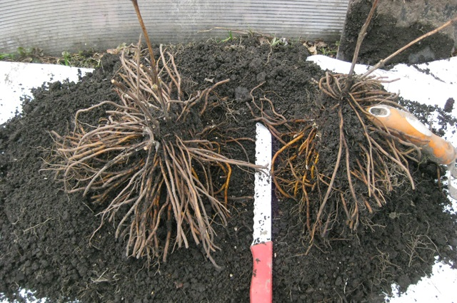 Размножение клематисов делением куста