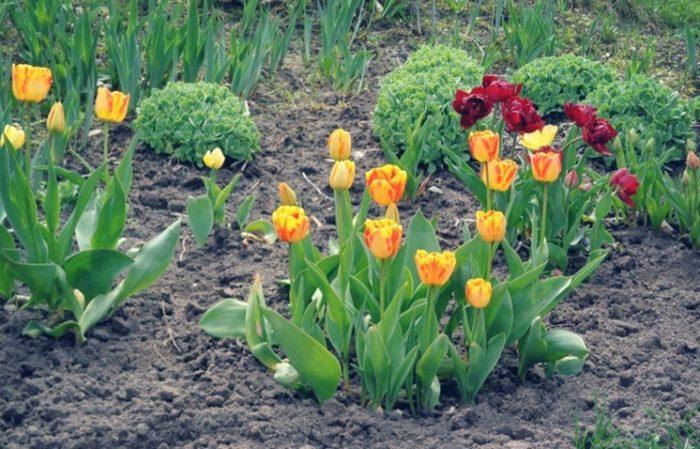 Уход за тюльпанами после посадки