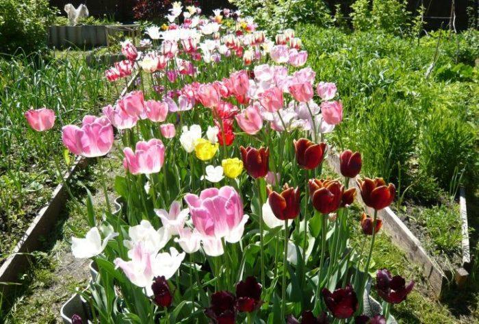Выбираем место для посадки тюльпанов