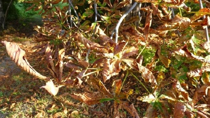 Каштановая моль на листьях