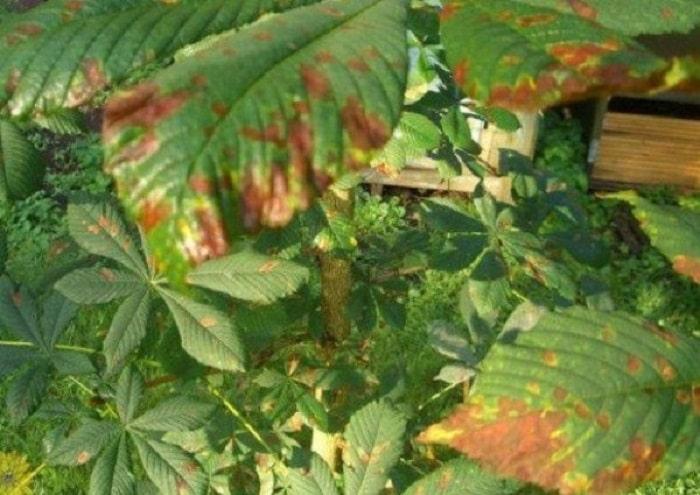 Красно-коричневая пятнистость каштана