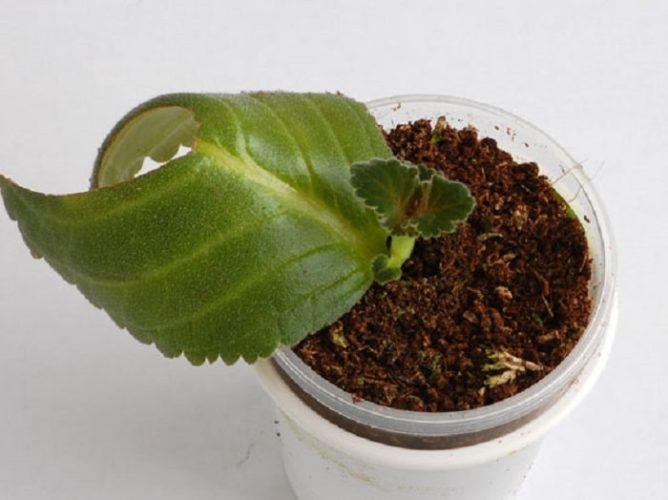 Размножение из листовых черенков