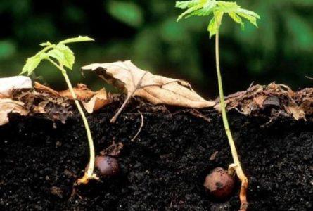 Выращивание саженца в домашних условиях