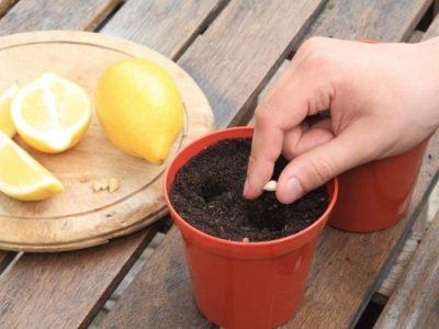 Посадка косточек лимона