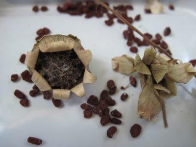Семена цикламена