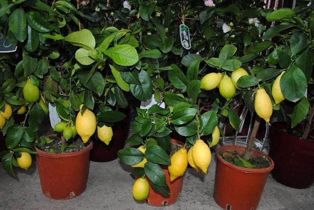 Как вырастить лимон из косточки – выращивание в домашних условиях [2019]