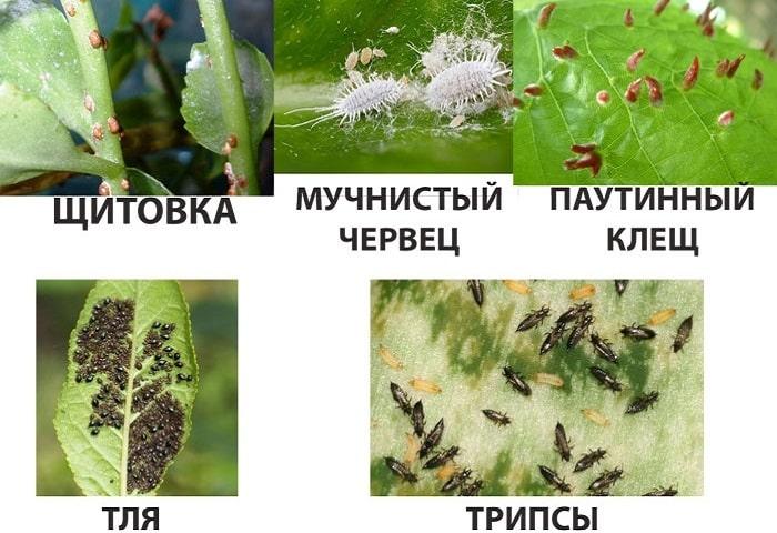 Вредители спатифиллума