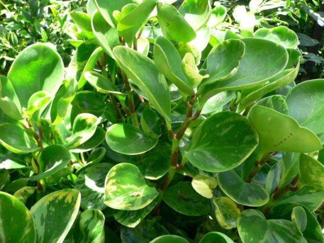 Пеперомия для украшения сада