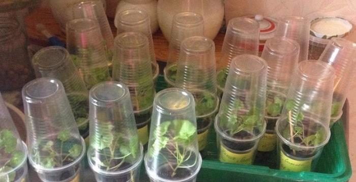 Тепличный способ выращивания черенков