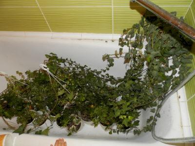 Теплый душ для плющей