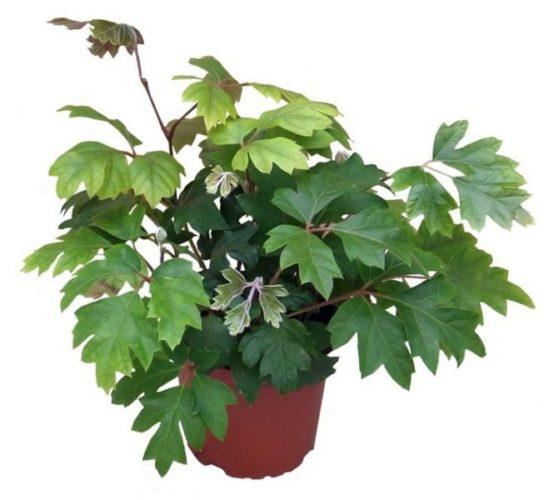 Виды растения