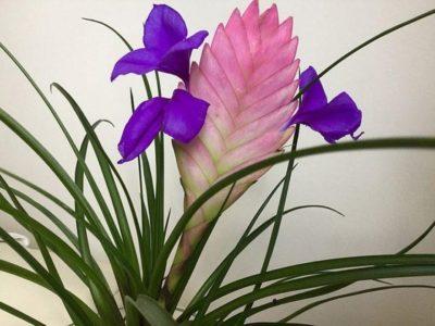 Цветущая тилландсия Анита