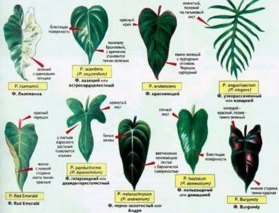 Форма листьев филодендрона