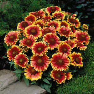 Гайлардия – это многолетнее растение, имеющее стебли высотой до 1 м. Благодаря своей яркой расцветке это растение никогда не останется незамеченным. Цветок активно используют для создания альпийских горок, ярких клумб, рабаток. Гайлардия отлично растет и цветет в климате нашей страны, за что пользуется популярностью у садоводов. Также преимуществом является длительное цветение, которое продолжается с июня по сентябрь. Растение и его сорта Цветок растет на любой почве и отличается неприхотливостью при выращивании. Род гайлардии включает 28 видов однолетников, двухлетников и многолетних растений. Цветы по форме напоминают ромашку, расцветка представлена сочетанием красного, желтого и оранжевого оттенков. Многолетняя гайлардия на одном месте может находиться около 5 лет. Растение имеет длинный корень, опушенные листья и стебель. Гибриды культуры очень похожи, поэтому малоопытному цветоводу отличить их достаточно сложно. Гибридные сорта имеют продолговатые, заостренные на конце листики с легкой опушкой. Соцветия могут обладать всеми оттенками красного, желтого, оранжевого или коричневого цветов. Корзинки бывают махровые или полумахровые. Чаще всего встречаются следующие гибридные сорта гайлардии: 1. «Кобольд» - ему характерны невысокие стебли (до 35 см), желтые лепестки соцветий с ярко-красным краем. 2. «Бургундер» - представлена темно-красными крупными цветами. 3. «Зоне» - культура вырастает до 60 см, растение имеет двухцветные лепестки: в середине - красного оттенка, а по краям – светло-желтого. В диаметре соцветие составляет около 10 см. 4. «Golden Gobin» - многолетник с низким стеблем, цветы окрашены в золотисто-желтый оттенок. Цветет обильно длительное время. 5. «Tokajer» - высокая многолетняя культура с ярко-оранжевыми цветами. Долго может находиться в букете и не вянуть. Гайлардия остистая или крупноцветковая вырастает до 70-80 см. Ее стебли прямые, опушенные. Рекомендуется их подвязывать, иначе куст будет иметь неряшливый вид. Популярными разновидностями остисто