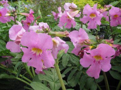 Инкарвиллея Делавея Розовые пчелы