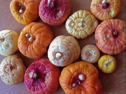 Луковицы разных сортов
