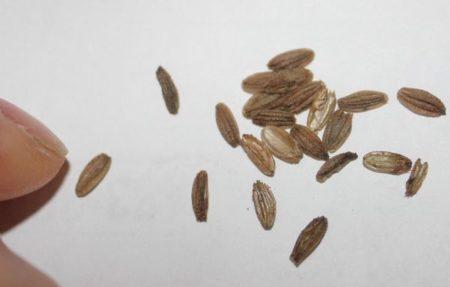 Семена астранции
