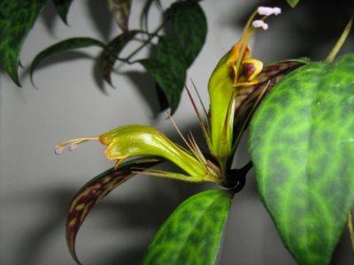 Виды и сорта эсхинантуса