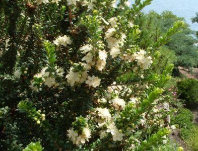 Цветущее миртовое дерево