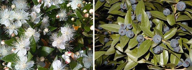 Цветы и плоды мирта