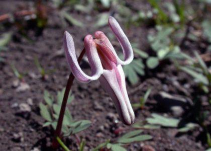 Дицентра одноцветковая