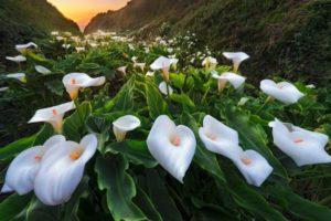 Каллы садовые: посадка и уход