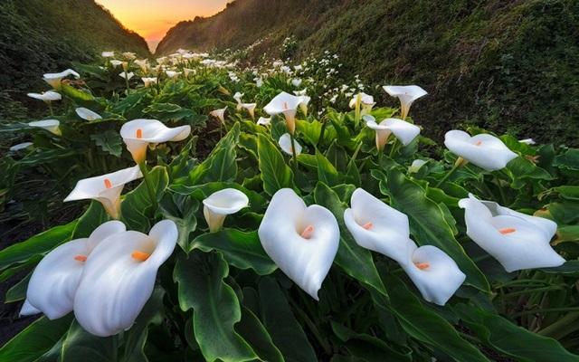Каллы — посадка и уход в открытом грунте