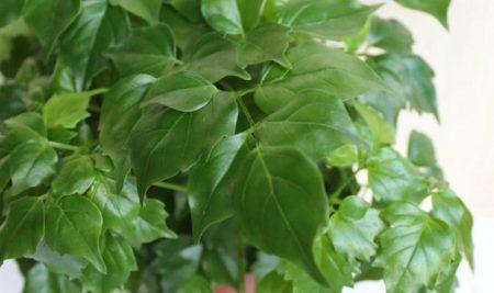 Листья радермахера