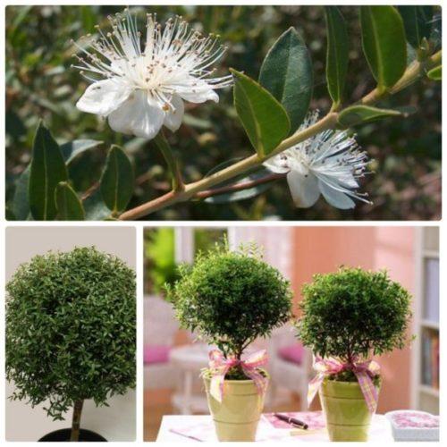 Миртовое дерево и его цветы