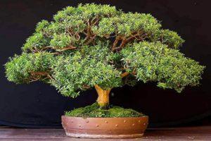 Миртовое дерево уход в домашних условиях