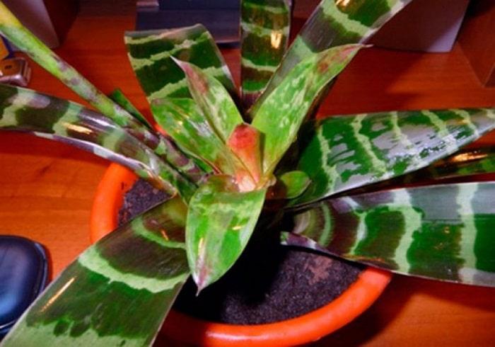 Болезни вриезии - пятна на листьях