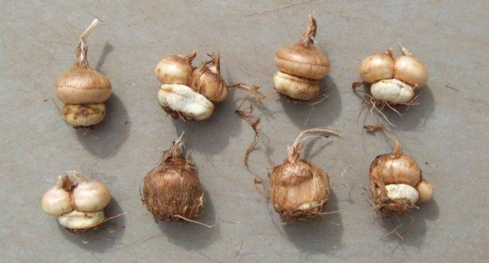 Материнские луковицы с дочерними отростками