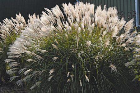 Цветущий мискантус