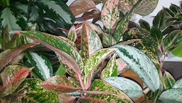 Растение аглаонема
