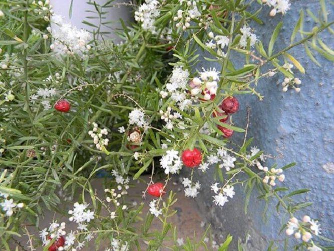 Цветы и плоды аспарагуса