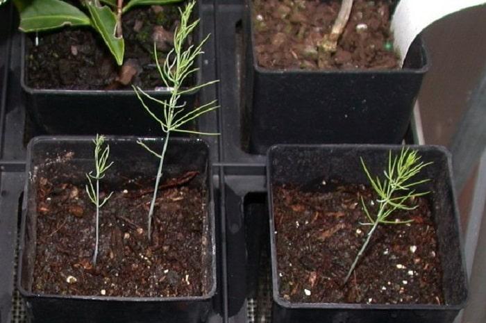 Выращивание аспарагуса из семян